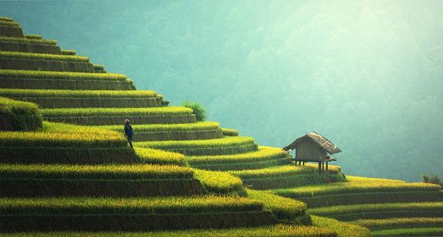 rýže plantáž