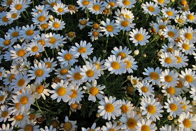 bílé květy heřmánku
